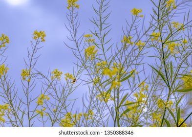 wild yellow flower field and an small honey bee with a ble sky background