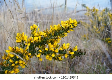 Wild Yellow Flowers Among The Green. Gorse or Ulex is a genus of flowering plants in the family Fabaceae.