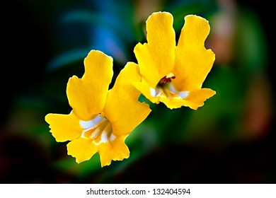 Wild Yellow Monkey Flowers (Mimulus brevipes), Santa Susana Mountains, California