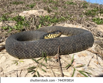 Wild yellow-belly watersnake
