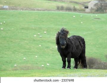 Wild Yorkshire Dales pony
