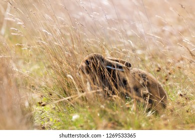 Wild Young Furry Mountain Hare  ( Lepus Timidus Or Alpine Hare ) Basking In Summer Pelage, Folded Its Ears And Decumbent Among The Yellow Grass At The Autumn Sun.Tundra Hare, Also Known As White Hare