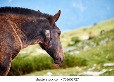 Wild young horse, on the green slopes in Dobratsch Nature Park in Austrian alps, having an open bloody wound on the neck