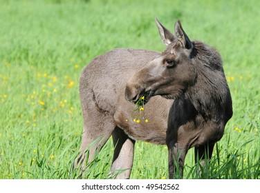 Wild young norwegian female moose. No zoo.