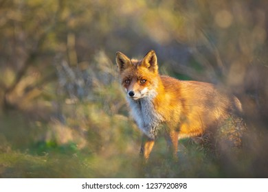 Wild young red fox (vulpes vulpes) vixen scavenging in a forest and dunes during sunset