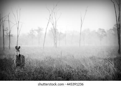 Wild Zebra in Black and White