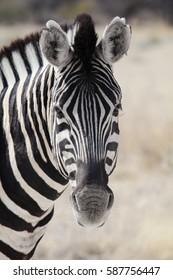 Wild zebra in Namibia, Africa