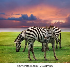 wild zebra standing in green grass field against beautiful dusky sky use for wild life and animals in africa safari wilderness