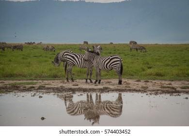 Wild Zebras in Ngorongoro Crater, Tanzania