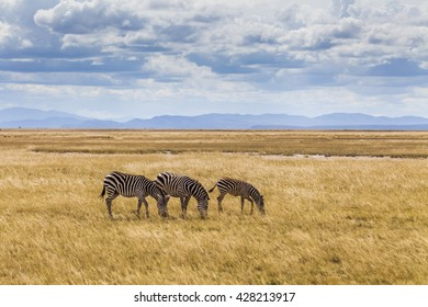 Wild zebras on the African savannah. Kenya.