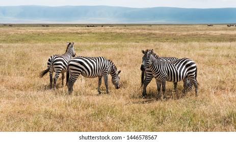 Wild Zebras in Tanzania, East Africa