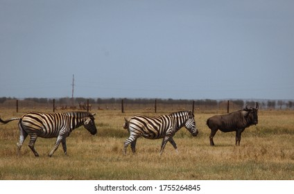 Wild zebras in Ukrainian biosphere reserve (sanctuary) Askania-Nova located in Kherson Oblast, Ukraine