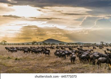 Wildbeast migration at Serengeti Tanzania
