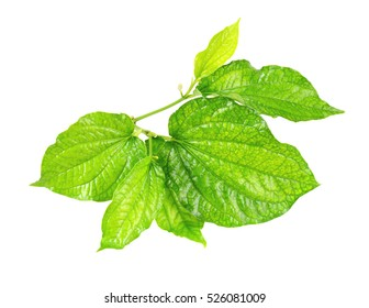 Wildbetal Leafbush on white background