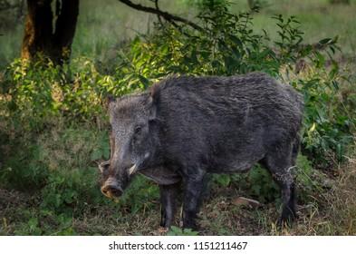 Wildboar, big male in the summer