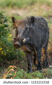 Wildboar with big tusks