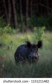 Wildboar in the grass