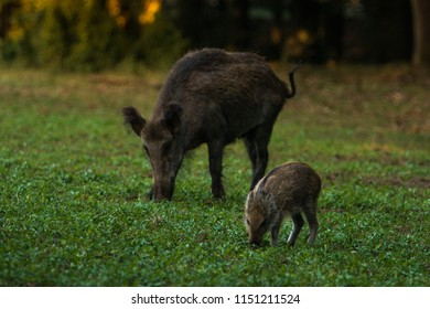 Wildboar, mother and child