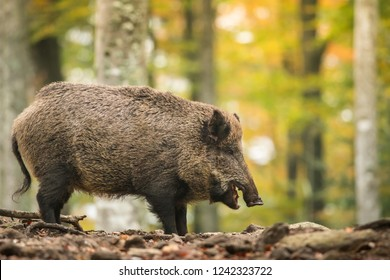 Wildboar in natural habitat, Sus scrofa, Bavarian forest, Europe
