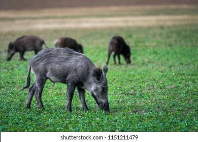 Wildboar on the meadow