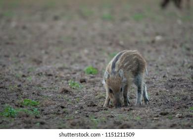 Wildboar piglet is looking for something to eat