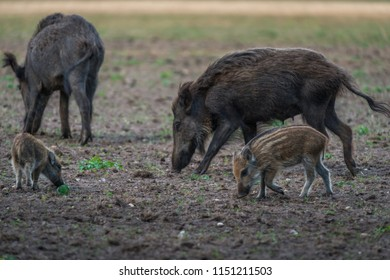 Wildboar with piglets