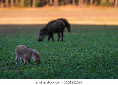 Wildboar searching for food
