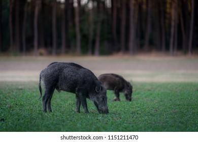 Wildboar searching the meadow