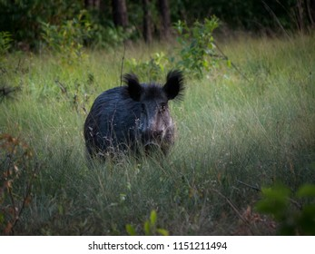 Wildboar standing in the grass