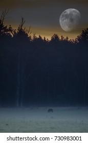 Wildboar under the moon