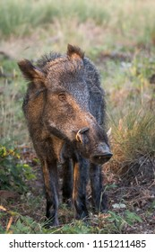 Wildboar with very big tusks