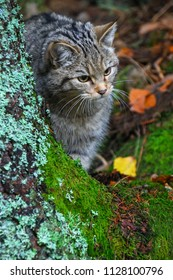 The wildcat is an endangered species. Rare animal in the middle of wilderness of forest. Slovakia, Felis silvestris.