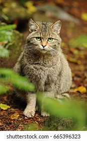 The wildcat (Felis silvestris) is a small cat native to most of Africa, Europe, and Southwest and Central Asia into India, western China, and Mongolia. Bayerwald Tierpark