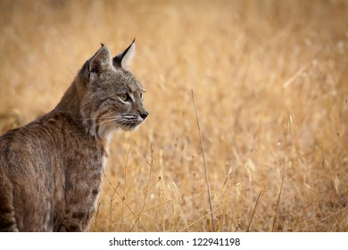 Wildcat In Field