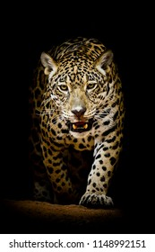 wildcat leopard in blackbackground / protrait leopard photography