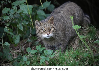 Wildcat in the undergrowth