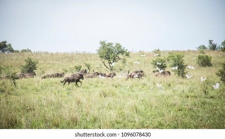 Wildebeest in the African bush