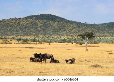 Wildebeest antelopes in the savannah Masai Mara, Kenya