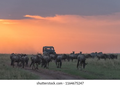 Wildebeest (Connochaetes) - Blocking the Road
