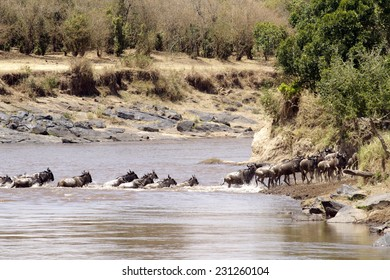 Wildebeest (Connochaetes) cross a river while migrating on the Maasai Mara National Reserve safari in southwestern Kenya.