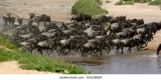 Wildebeest (Connochaetes) cross a river while migrating on the Maasai Mara National Reserve safari in  Kenya