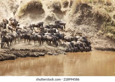 Wildebeest (Connochaetes) migrating on the Maasai Mara National Reserve safari in southwestern Kenya.