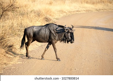 Wildebeest crossing a dirt road in Pilanesberg National Park, South Africa