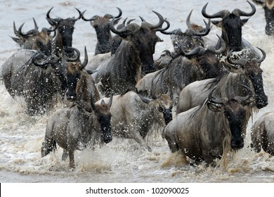 Wildebeest crossing the Mara river.