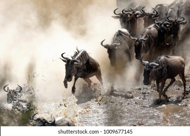 Wildebeest crossing the Mara River during the annual great migration. Every year millions will make the dangerous crossing when migrating between Tansania and the Masai Mara in Kenya.