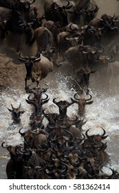 Wildebeest crossing the Mara River in great panic during the migration. Serengeti National Park, Tanzania, East Africa.