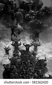 Wildebeest crossing the Mara River in great panic during the migration. Serengeti National Park, Tanzania, East Africa. (Black and white rendition)