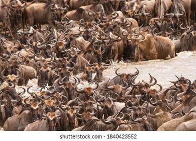 Wildebeest crossing the Mara River in the northern Serengeti National Park, Tanzania