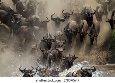 Wildebeest crossing the Mara River, Serengeti National Park, Tanzania.