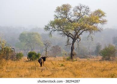 Wildebeest in the dawn mist in South Africa